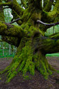 Moss on maple tree trunk in a rain forest Stock Photos