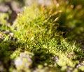 Moss in nature. macro