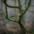 Moss on tree in the mist Royalty Free Stock Photo