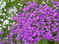 Moss Phlox flowers Royalty Free Stock Image