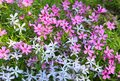Moss phlox - phlox subulata Royalty Free Stock Images