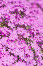 Moss phlox pink covering ground Stock Images