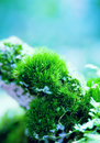Moss pillows details of naturally growing clumps of and lichen Royalty Free Stock Photos