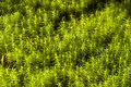 Moss Polytrichum. Stock Images