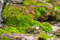 Moss on the rock close up of green texture Royalty Free Stock Photos
