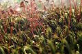 Moss sporangiums macro shot showing some in sunny ambiance Stock Images