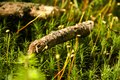 Moss spores with twigs small on close up of Royalty Free Stock Photography