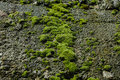 Moss stone wall detail closup macro with green growth Royalty Free Stock Photography