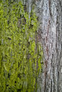 Moss take over coexistence closeup tree trunk with green taking grey bark Royalty Free Stock Photos