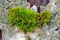 Moss on tree bark close up a of green tortula growing Royalty Free Stock Photo