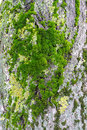 Moss tree bark green on detail closeup macro Royalty Free Stock Images