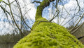 Moss on tree branches Royalty Free Stock Photo
