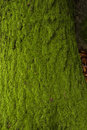 Moss in a tree trunk stock photo Royalty Free Stock Image