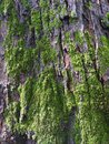Mosses covering the trunk of a tree Stock Photography