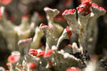 Mosses lichens with red heads Royalty Free Stock Photos