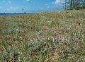 Mosses and pine sandy shore of of lake baikal turka village Royalty Free Stock Image