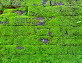 Mosses on a stone wall of ruin are flowerless plants belonging to the division bryophyta Stock Images