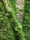 Mossy branches detail of some moss overgrown in forest ambiance Stock Photo