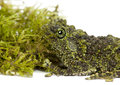 Mossy Frog next to Moss, Theloderma corticale Royalty Free Stock Image