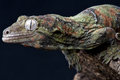 Mossy gecko Royalty Free Stock Photos