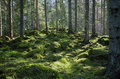 Mossy green forest stones and tree trunks in a coniferous in the swedish province smaland Stock Image