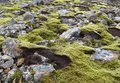 Mossy lava rocks in iceland background picture taken Stock Photography