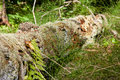 Mossy log Royalty Free Stock Image
