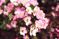 Mossy saxifrage flowers retro photo filter effect Royalty Free Stock Image