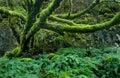 Mossy Tree Royalty Free Stock Photos