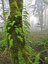 Mossy tree with ferns in misty forest covered fern branches Royalty Free Stock Images