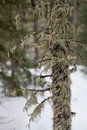 Mossy tree image of moss growing on a surrounded by snow Stock Photography