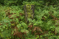 Mossy tree stump overgrown with fern in finnish park in lahti Stock Photo