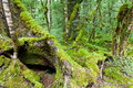 Mossy trunks in a virgin mountain Beech forest, NZ Royalty Free Stock Photos
