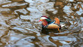 The most beatiful mandarin duck Stock Image