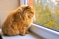 Most fat glutton funny ginger cat like garfield looking out the window and hunting bird Royalty Free Stock Photography