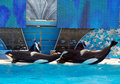 Mostra do shamu da baleia de assassino no seaworld San Diego Fotografia de Stock Royalty Free