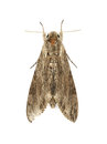 Moth brown isolated on white background Royalty Free Stock Photo
