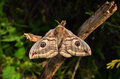 Moth the female saturnia pavoniella a southern cousin of the emperor on a dry twig Stock Photos