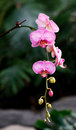 Moth orchid Stock Images