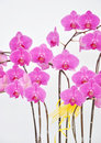 Moth orchid flowers isolated Royalty Free Stock Photo