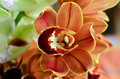 Moth Orchid - Phalaenopsis flower Royalty Free Stock Photo