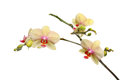 Moth orchid Royalty Free Stock Photo