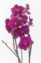 Moth orchid with white background isolated Royalty Free Stock Photo