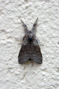 Moth pale tussock the macro close up of a Stock Images