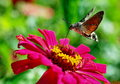 Moth on pink flower insect flowers it is nature gardens green proboscis summer hummingbird is flying macro ornamenta is feeding Stock Photography