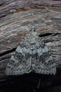 Moth red underwing x catocala nupta x on tree closeup Stock Image