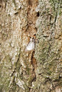 Moth on a trunk of locust tree Stock Photo