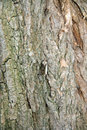 Moth on a trunk of locust tree Stock Image