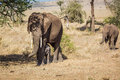 Mother and babies elephants baby in serengeti national park tanzania Stock Images