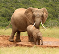 Mother and baby African elephant, South Africa Royalty Free Stock Photos